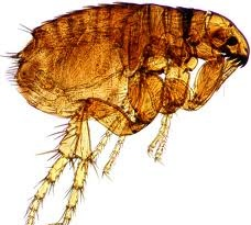 Dog flea