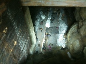 Rats droppings in loft