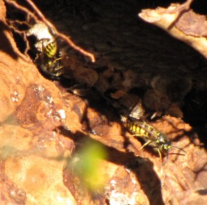 Wasps taken by No-Nonsense Pest Control