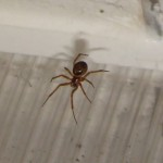 Spider - False Widow?