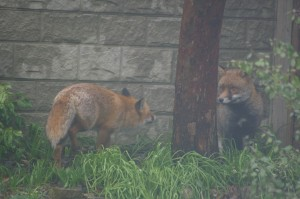 foxes at play in a local Bournemouth garden