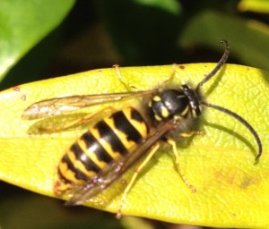 Wasp taken by No-Nonsense Pest Control