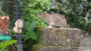 Rat control by No-Nonsense Pest Control