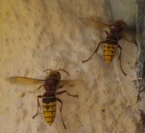 Hornets taken by No-Nonsense Pest Control