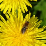 SOLITARY BEE taken by No Nonsense Pest Control
