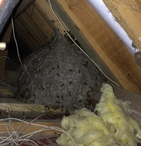 Wasps In A Loft Taken By No Nonsense Pest Control No