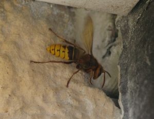 Hornet taken by No-Nonsense Pest Control