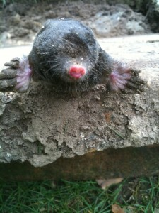 Another mole caught by No Nonsense Pest Control