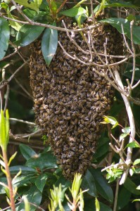 Bees at Branksome