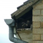 BIRDS-NESTING-ROOM WITH A VIEW IN POOLE BY NO-NONSENSE PEST CONTROL