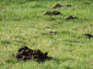 Moles,Mole control, mole catching by No-nonsense Pest control, Bournemouth,Christchurch,Ringwood Verwood and poole.