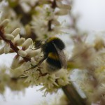 BUFFTAILED BUMBLEBEE TAKEN BY NO-NONSENSE PEST CONTROL