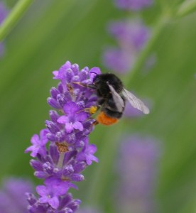 RED TAILED BUMBLEBEE TAKEN BY NO-NONSENSE PEST CONTROL