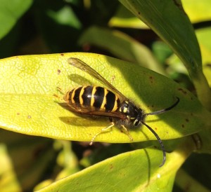 wasp, wasp control by No-Nonsense Pest Control