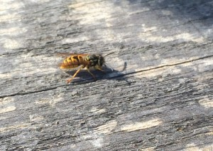 wasps and wood taken by No-Nonsense Pest Control